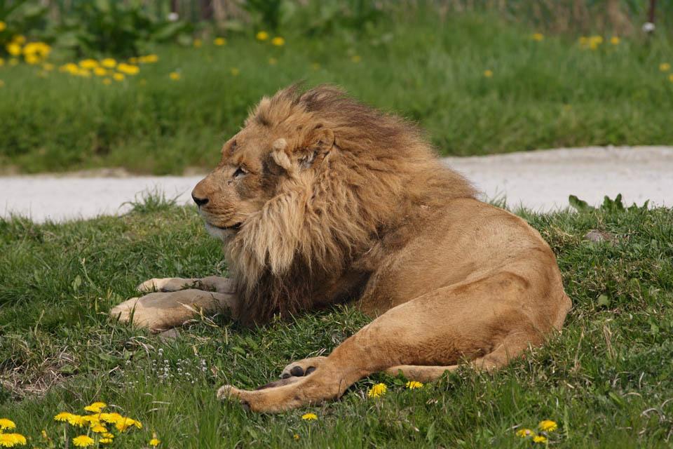 צילום, חינם גשמי, נוף, מדמין, צילום של מלאי ,אריה, אריה, , אריה, מלך של חיות