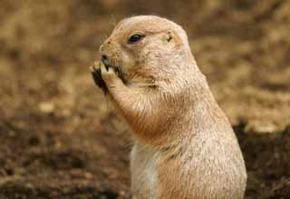 photo,material,free,landscape,picture,stock photo,Creative Commons,Afternoon snack of a prairie dog, rodent, , ,