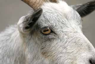 photo,material,free,landscape,picture,stock photo,Creative Commons,Eye of a goat, goat, , ,
