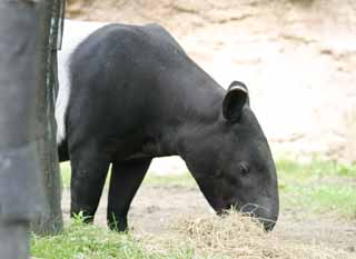 photo,material,free,landscape,picture,stock photo,Creative Commons,Malayan tapir, tapir, , ,