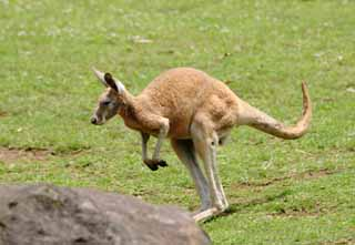 photo,material,free,landscape,picture,stock photo,Creative Commons,Kangaroo, kangaroo, , ,