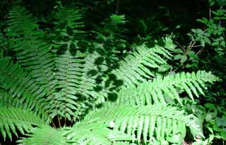 photo,material,free,landscape,picture,stock photo,Creative Commons,Shadow of leaves on ferns, fern, grove, tender green,