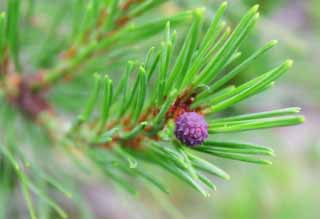 photo,material,free,landscape,picture,stock photo,Creative Commons,Pine flower, flower, cone, pine,