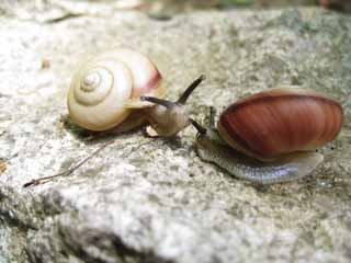 photo,material,free,landscape,picture,stock photo,Creative Commons,Snail single combat, snail, , shellfish,