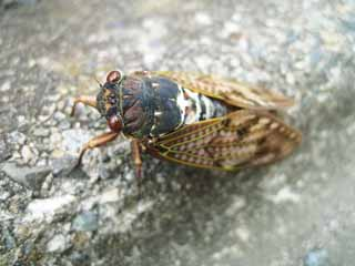 photo,material,free,landscape,picture,stock photo,Creative Commons,A large brown cicada, cicada, , , Gradually