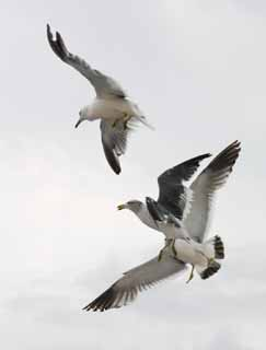 photo,material,free,landscape,picture,stock photo,Creative Commons,Real dogfight, seagull, sky, sea,