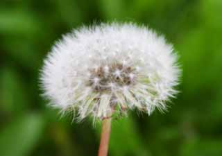 photo,material,free,landscape,picture,stock photo,Creative Commons,Cotton ball, dandelion, seed, beautiful, wild grass