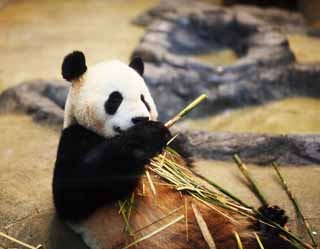 photo,material,free,landscape,picture,stock photo,Creative Commons,Giant panda, , , ,