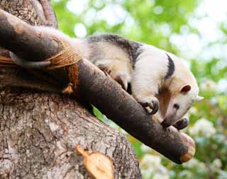 photo,material,free,landscape,picture,stock photo,Creative Commons,Southern Tamandua, , , ,