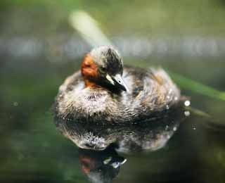photo,material,free,landscape,picture,stock photo,Creative Commons,Little grebe, , , ,