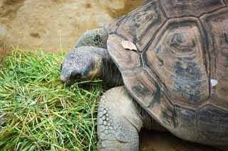 photo,material,free,landscape,picture,stock photo,Creative Commons,Galapagos giant tortoise, , , ,