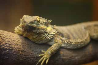 photo,material,free,landscape,picture,stock photo,Creative Commons,Bearded dragon, , , ,