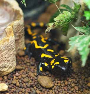 photo,material,free,landscape,picture,stock photo,Creative Commons,Fire Salamander, , , ,