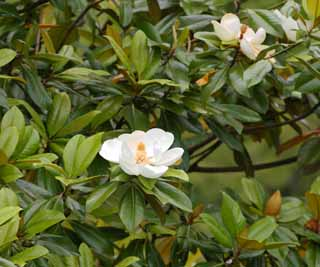 photo,material,free,landscape,picture,stock photo,Creative Commons,Magnolia grandiflora, , , ,