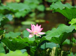 photo,material,free,landscape,picture,stock photo,Creative Commons,Lotus flower, , , ,