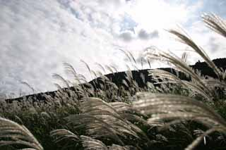 photo,material,free,landscape,picture,stock photo,Creative Commons,Silver grass, silver grass, silver grass, silver grass, grassland
