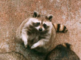 photo,material,free,landscape,picture,stock photo,Creative Commons,Raccoon, , , ,