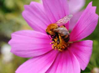 photo,material,free,landscape,picture,stock photo,Creative Commons,Delicious cosmos , bee, bee, Bee, cosmos
