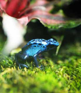 photo,material,free,landscape,picture,stock photo,Creative Commons,Blue poison dart frog, , , ,