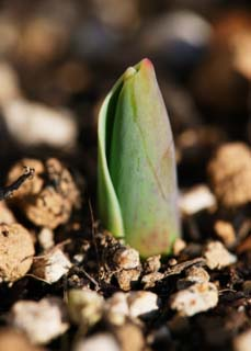 photo,material,free,landscape,picture,stock photo,Creative Commons,The sprouting of a tulip, , bud, Soil, potted plant