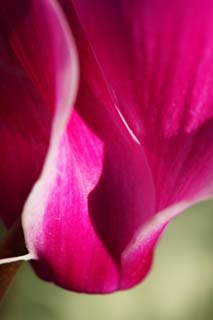 photo,material,free,landscape,picture,stock photo,Creative Commons,Undulation of a cyclamen, cyclamen, Pink, petal, potted plant