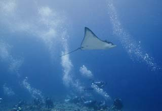 photo,material,free,landscape,picture,stock photo,Creative Commons,Spotted eagle ray and pleasant friends, Spotted eagle ray, Coral, diver, diving
