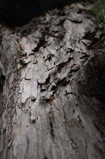 photo,material,free,landscape,picture,stock photo,Creative Commons,The history of a cortex, The bark, cortex, Wood, tree