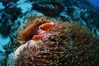 photo,material,free,landscape,picture,stock photo,Creative Commons,A sea anemone and an anemone fish, anemone fish, seanemone, Nimmo, Coral