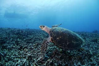 photo,material,free,landscape,picture,stock photo,Creative Commons,A sea turtle, seturtle, , , Coral