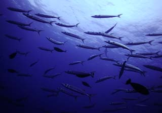 photo,material,free,landscape,picture,stock photo,Creative Commons,A school of fish, crowd, fish, eyeball, Coral