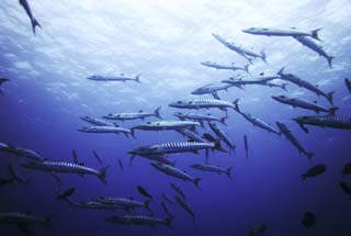 photo,material,free,landscape,picture,stock photo,Creative Commons,A school of barracuda, barracuda, Great barracuda, School of fish, The sea