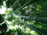 photo,material,free,landscape,picture,stock photo,Creative Commons,Bamboo trees, , , ,