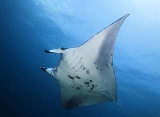 photo,material,free,landscape,picture,stock photo,Creative Commons,A flight of a manta, manta, ray, In the sea, underwater photograph