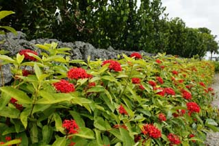 photo,material,free,landscape,picture,stock photo,Creative Commons,There is rouge, and it is flower and Ishigaki, Ishigaki, Structure, stone, volcano