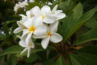 photo, la matière, libre, aménage, décrivez, photo de la réserve,Une fleur d'un frangipani, frangipani, La zone tropique, fleur, Blanc