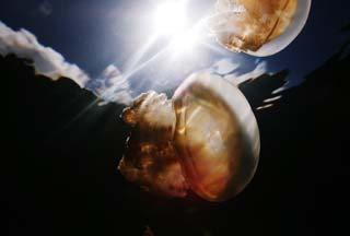 photo,material,free,landscape,picture,stock photo,Creative Commons,A jellyfish prism, jellyfish, jellyfish, jellyfish, jellyfish