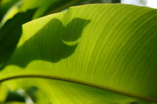 photo,material,free,landscape,picture,stock photo,Creative Commons,Screen of a tropical large leaf, banana, leaf, silhouette, The tropical zone