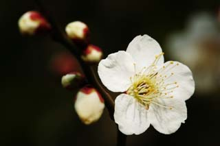 photo,material,free,landscape,picture,stock photo,Creative Commons,A flower of a plum, White, plum, , petal