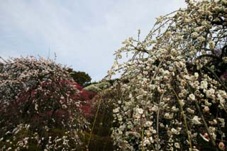 photo,material,free,landscape,picture,stock photo,Creative Commons,A plum in full glory, plum garden, plum, , petal