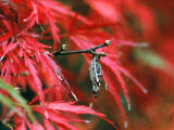 photo,material,free,landscape,picture,stock photo,Creative Commons,Bagworm hanging on a maple twig, bagworm, autumn leaves, ,