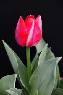 photo,material,free,landscape,picture,stock photo,Creative Commons,A red-and-white tulip, , tulip, petal, potted plant