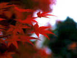 photo,material,free,landscape,picture,stock photo,Creative Commons,Maple leaves, , , ,