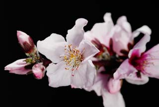 photo,material,free,landscape,picture,stock photo,Creative Commons,Peach blossom, peach, , petal, peach