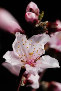 photo,material,free,landscape,picture,stock photo,Creative Commons,Peach blossom, peach, , petal,