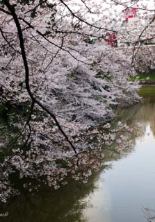 photo,material,free,landscape,picture,stock photo,Creative Commons,A cherry tree to a moat, cherry tree, , , Yoshino cherry tree