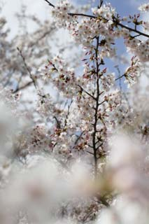 photo,material,free,landscape,picture,stock photo,Creative Commons,Spring of a Yoshino cherry tree, cherry tree, , , Yoshino cherry tree