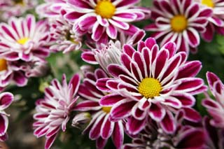 photo,material,free,landscape,picture,stock photo,Creative Commons,Chrysanthemums, chrysanthemum, chrysanthemum, I work, flower