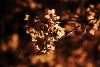 photo, la matière, libre, aménage, décrivez, photo de la réserve,Un départ voir le soir des fleurs de la cerise silhouette, arbre de la cerise, arbre de la cerise, arbre de la cerise, Aller voir des fleurs de la cerise le soir