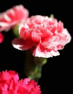 photo, la matière, libre, aménage, décrivez, photo de la réserve,Rose d'un oeillet, oeillet, bouquet, pétale, Rose