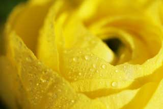 photo,material,free,landscape,picture,stock photo,Creative Commons,Yellow of a ranunculus, ranunculus, Yellow, petal, drop